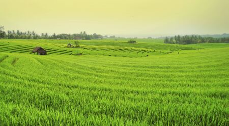 palmy: Palmy Rice Field