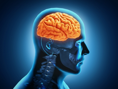 fisiologia: Anatom�a del cerebro humano Foto de archivo