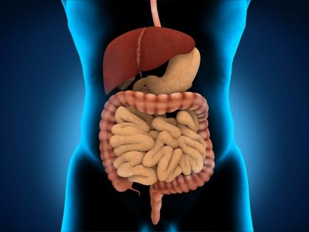 Human Digestive System Stock Photo - 17593214