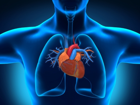 Human Heart Anatomy Stock Photo - 19315176