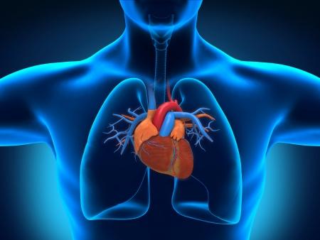 circulation: Human Heart Anatomy