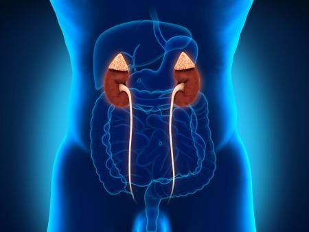 bladder cancer: Human Male Kidneys Anatomy