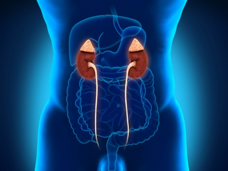 prostate gland: Human Male Kidneys Anatomy