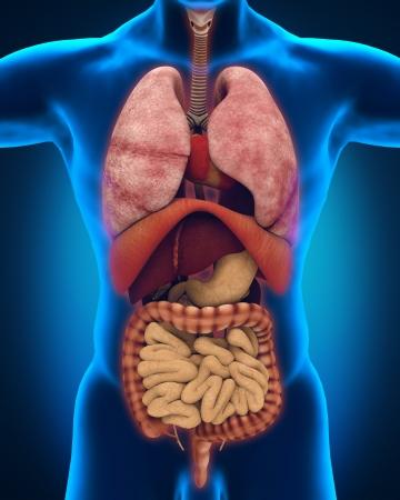 intestino: Vista anterior del cuerpo humano