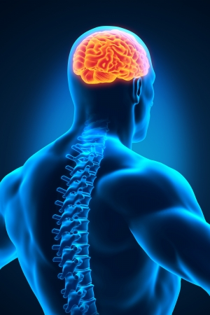 Spinal Cord and Brain Anatomy Stock Photo - 19458706