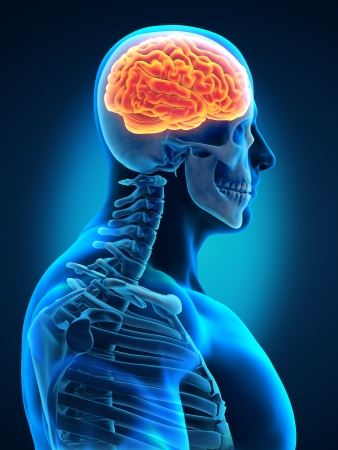 Human Brain with Visible Skull Lateral View Stock Photo - 19458719