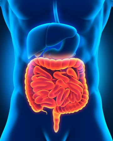 appendix: Intestinal Internal Organs Stock Photo