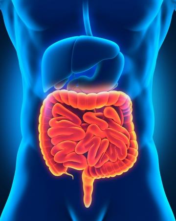 appendix ileum: Intestinal Internal Organs Stock Photo