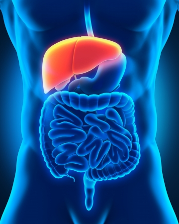 tract: Human Liver Anatomy in X-ray View Stock Photo