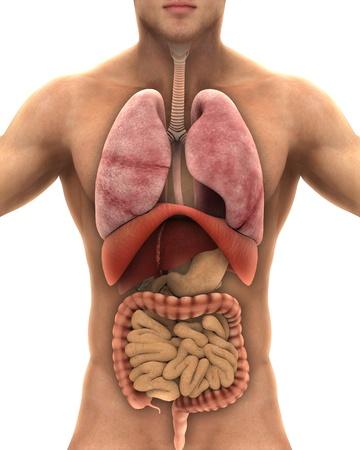 sistema digestivo: Anatom�a del cuerpo humano aislado en el fondo blanco