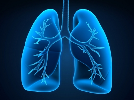 Lung and Bronchi Stock Photo - 19560282