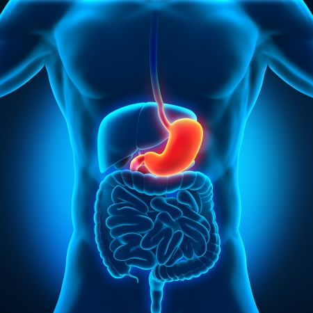 ileum: Human Stomach Anatomy Stock Photo