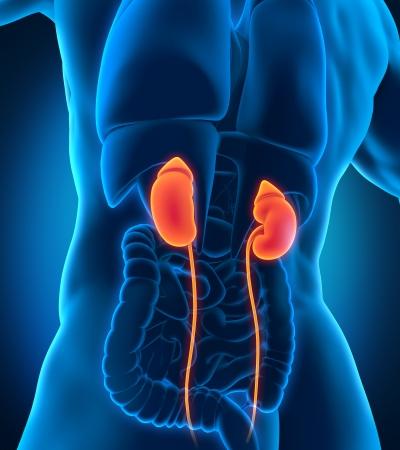 scrotum: Human Male Kidneys Anatomy