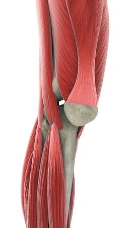 무릎의 해부학