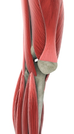 Anatom?a de rodilla Foto de archivo - 20217671