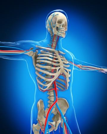 Vascular System Stock Photo - 20217684