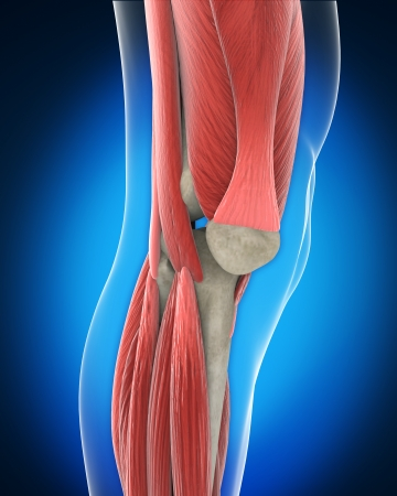 Knee Anatomy photo