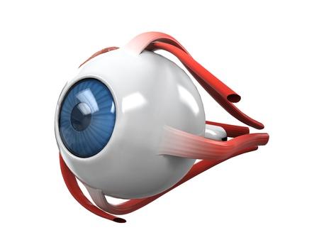 partes del cuerpo humano: Disección del ojo humano anatomía