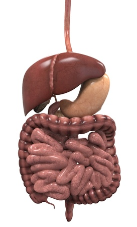 Human Digestive System Stock Photo - 20918854