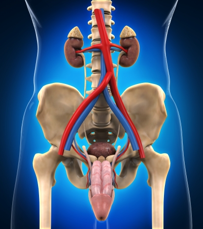 renal: Urinary Renal System
