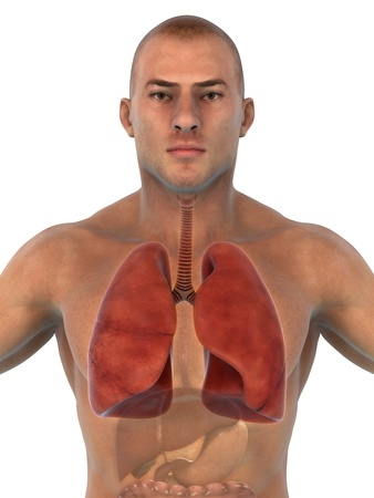 Human Respiratory System Stock Photo - 21133698