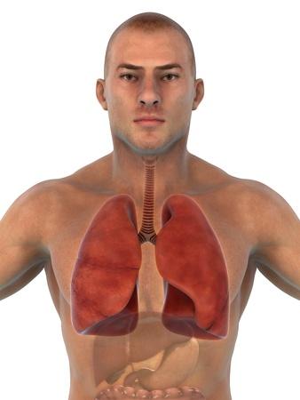 sinuses: Human Respiratory System Stock Photo