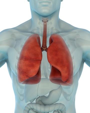 Human Respiratory System Stock Photo - 21133699