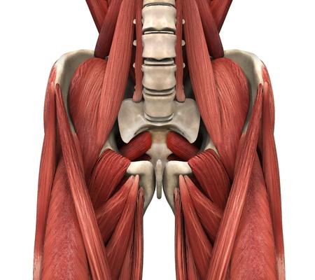 Los músculos psoas Foto de archivo - 21459653