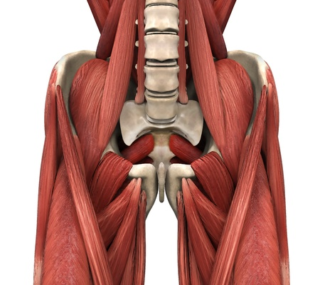 Los m�sculos psoas photo