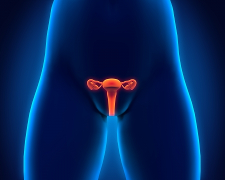 Female Reproductive System Stock Photo - 21459662