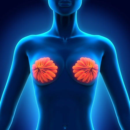 Female Breast Anatomy Stock Photo - 21459665