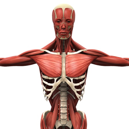 dorsi: Human Anterior Muscles Stock Photo