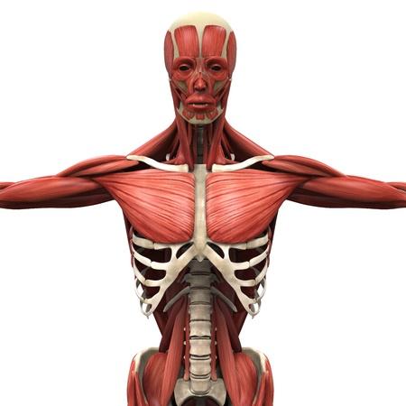 latissimus: Umani muscoli anteriori Archivio Fotografico
