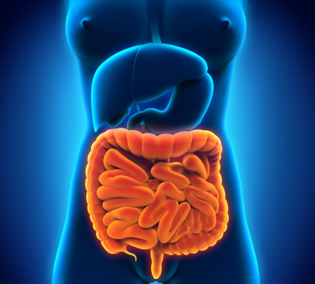 Intestinal Internal Organs Stock Photo - 21419191