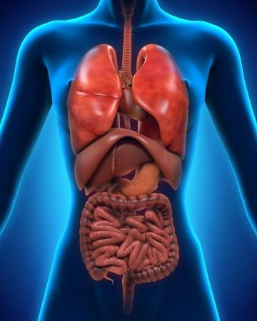 trzustka: Przedni widok ludzkiego ciała