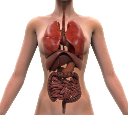 internal organ: Anterior View of Human Body