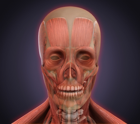 huesos humanos: Anatomía facial humana