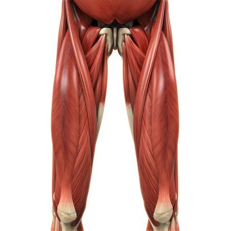 muslos: Alta piernas Músculos Anatomía