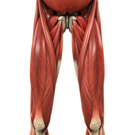 Upper Legs Muscles Anatomy Stock Photo - 21459722