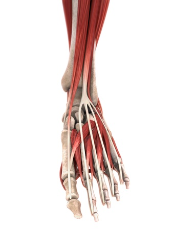 distal: Los m�sculos del pie Anatom�a Humana Foto de archivo