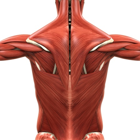 뒤의 근육 해부학