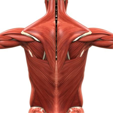 latissimus: Anatomia muscolare del Back Archivio Fotografico