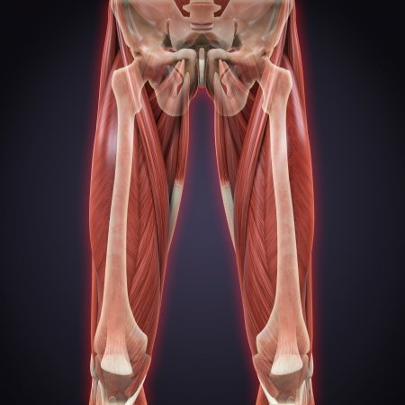 Upper Legs Muscles Anatomy photo