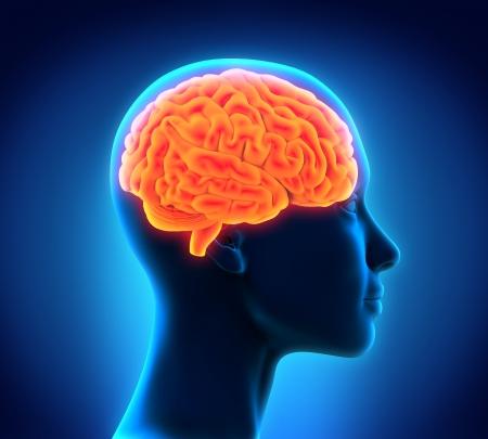 人間の脳の解剖学 写真素材