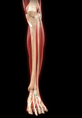 Lower Legs Muscles Anatomy Stock Photo - 21459819