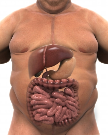 Intestinal Internal Organs of Overweight Body