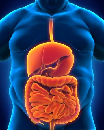 appendix ileum: Intestinal Internal Organs of Overweight Body