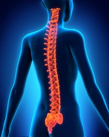 medula espinal: Anatomía Columna vertebral humana Foto de archivo