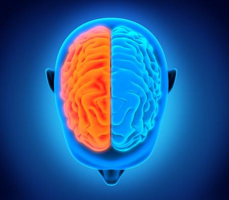 sistema nervioso central: Cerebro Humano izquierda y derecha