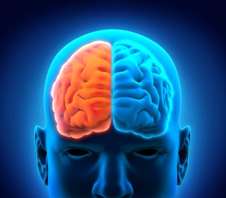 cerebro humano: Cerebro Humano izquierda y derecha